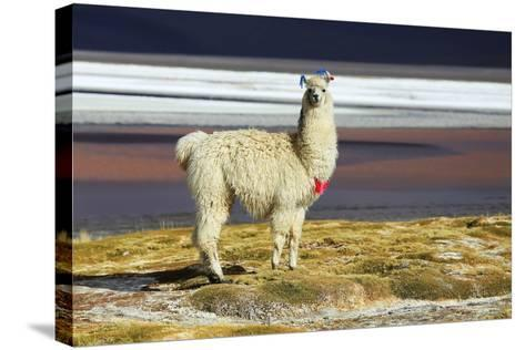 Alpaca in Salar De Uyuni, Bolivia Desert-padchas-Stretched Canvas Print