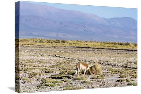 Vicuna in Salinas Grandes in Jujuy, Argentina.-Anibal Trejo-Stretched Canvas Print