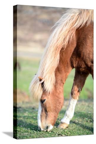 Icelandic Horse Grazing-Aleksandar Mijatovic-Stretched Canvas Print