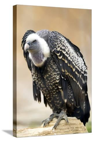 Vulture Full Length Plumage-stefano pellicciari-Stretched Canvas Print