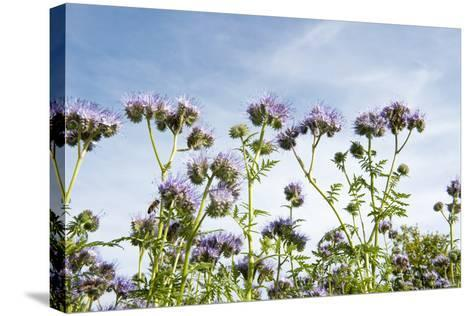 Lila Foliage with Bees against Blue Sky-YellowPaul-Stretched Canvas Print