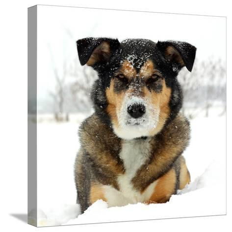 German Shepherd Dog Laying in Snow-Christin Lola-Stretched Canvas Print