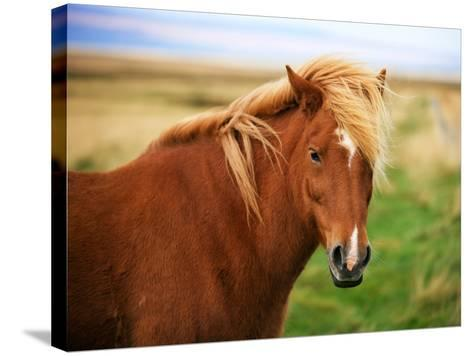 Icelandic Horse in the Field-dislentev-Stretched Canvas Print