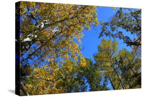 Autumn. Gold Birch and Larch Tops against Blue Sky-???????? ??????-Stretched Canvas Print