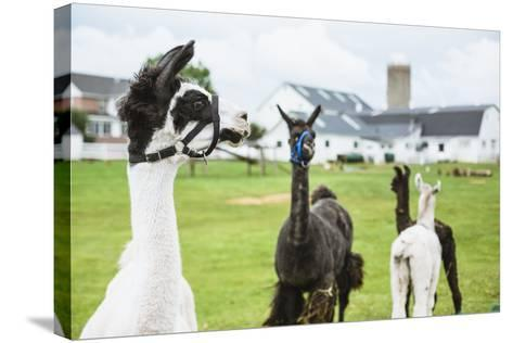 Four Lama's on Farm in Amish Country- epstock-Stretched Canvas Print