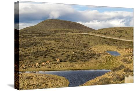 Llamas Grazing - Torres Del Paine Chile- robertprice87-Stretched Canvas Print