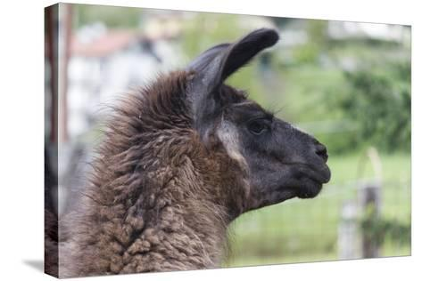 Lamas in the Farm-spetenfia-Stretched Canvas Print