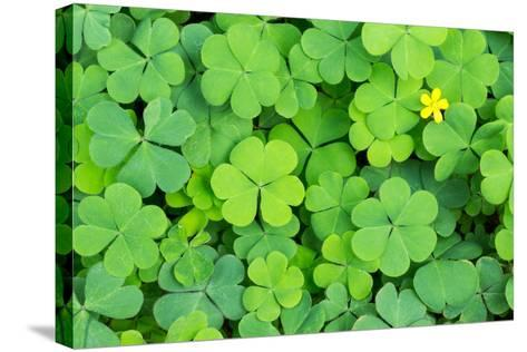 Clover- danielskyphoto-Stretched Canvas Print