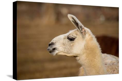 White Llama Head Shot Profile Pursed Lips- photobyjimshane-Stretched Canvas Print
