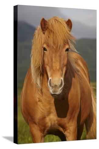 Icelandic Wild Horse Closeup- h368k742-Stretched Canvas Print