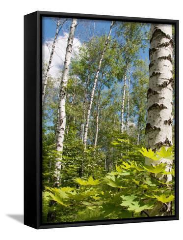 Birch Grove-Nataliya Dvukhimenna-Framed Canvas Print