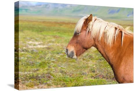 Icelandic Horse-Natalia Pushchina-Stretched Canvas Print