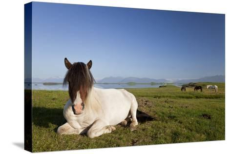 Icelandic Horse at Rest in A Field-Darren Baker-Stretched Canvas Print
