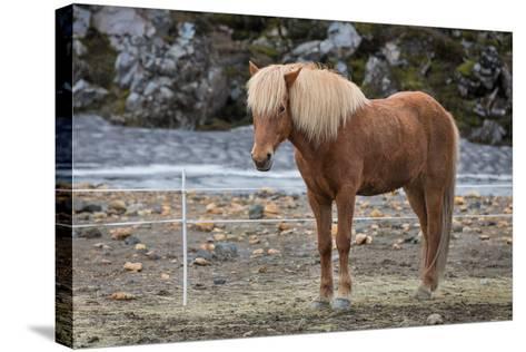 Icelandic Horses-F C G-Stretched Canvas Print