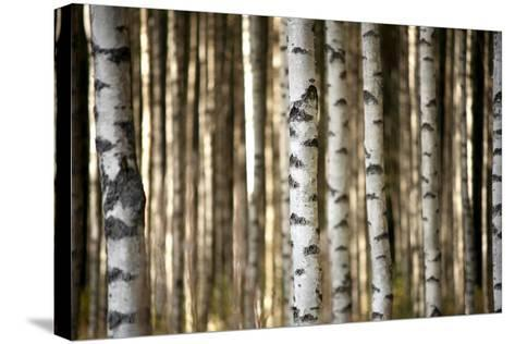 Trunks of Birch Trees-Pink Badger-Stretched Canvas Print