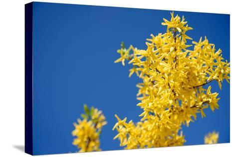 Yellow Flowers of Forsythia against the Blue Sky- irishasel-Stretched Canvas Print
