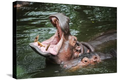 Hippopotamus-Goldquest-Stretched Canvas Print