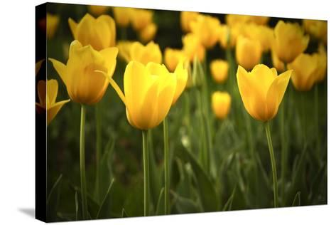 Yellow Tulips- Sondem-Stretched Canvas Print