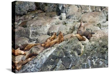 Sea Lions on Rock-Latitude 59 LLP-Stretched Canvas Print