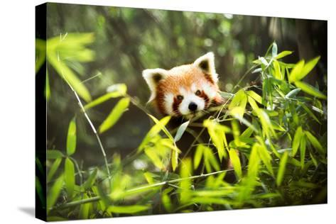 Red Panda-Igor Mojzes-Stretched Canvas Print