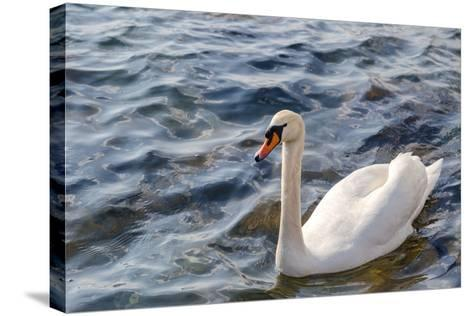 Swan in the Water-Massimiliano Ranauro-Stretched Canvas Print