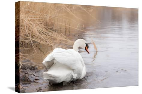 Lone White Swan Looking Back at Onlooker-beyond_a_snapshot-Stretched Canvas Print