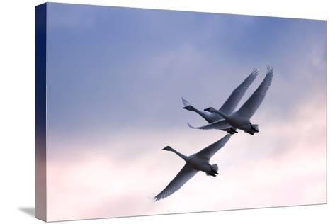 Tundra Swans in Flight-Delmas Lehman-Stretched Canvas Print