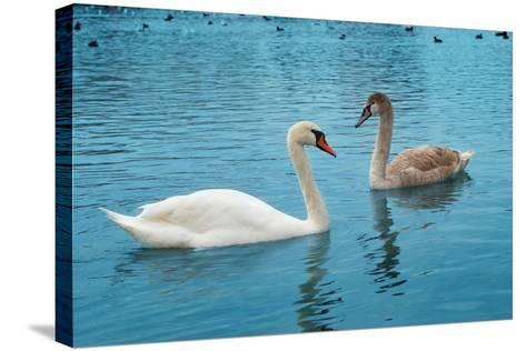 Two Swans-Vakhrushev Pavel-Stretched Canvas Print