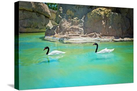 Two Black-Necked Swans-anytka-Stretched Canvas Print