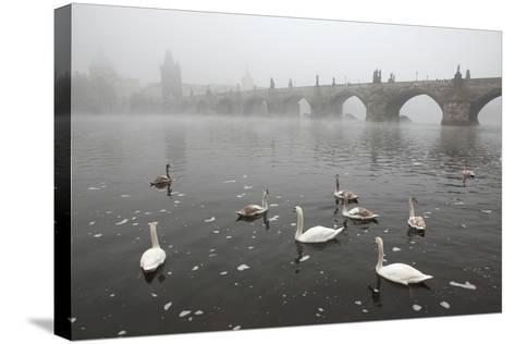 Morning Fog over Swimming Swans and the Charles Bridge in Prague, Czech Republic.-wrangel-Stretched Canvas Print