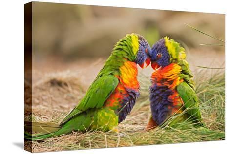Rainbow Lorikeets (Trichoglossus Haematodus) Fighting- miroslav_1-Stretched Canvas Print