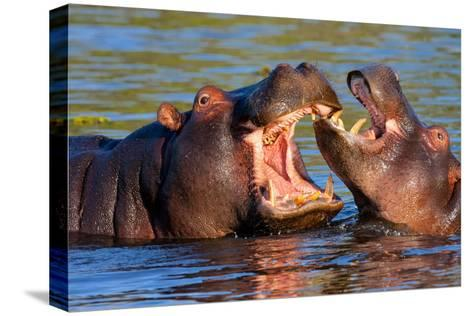 Game Two Young Hippopotamus, Hippopotamus Amphibius,-vladislav333222-Stretched Canvas Print