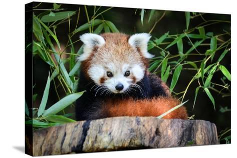 Red Panda-_jure-Stretched Canvas Print