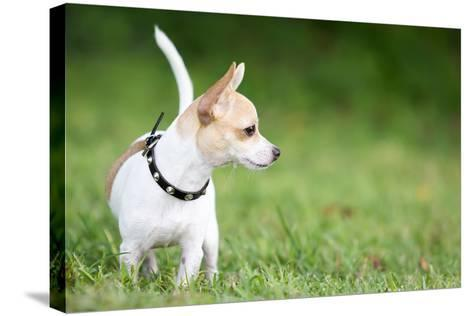Small Chihuahua Dog Standing on a Green Grass Park with a Shallow Depth of Field-Kamira-Stretched Canvas Print