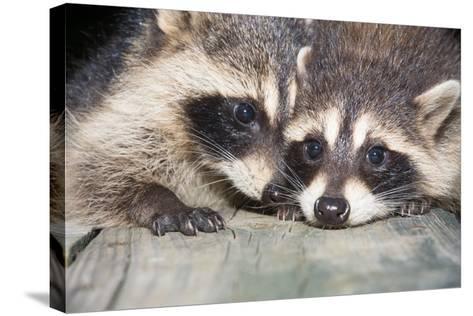 Tw Baby Raccoon-EEI_Tony-Stretched Canvas Print