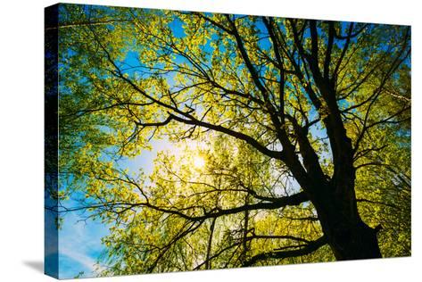 Spring Sun Shining through Canopy of Tall Oak Trees.-Grisha Bruev-Stretched Canvas Print
