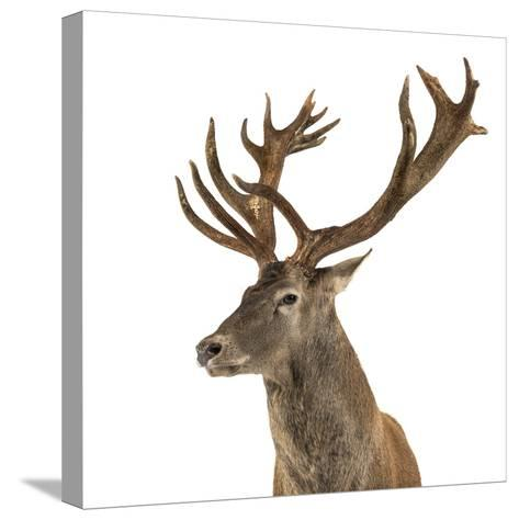 Close-Up of a Red Deer Stag in Front of a White Background-Life on White-Stretched Canvas Print
