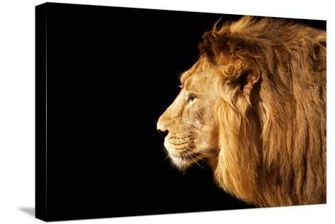Side Face Portrait of a Beautiful Young Asian Lion, Isolated on Black Background.-olga_gl-Stretched Canvas Print