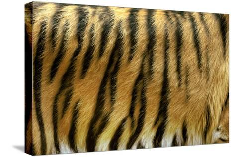 Texture of Real Tiger Skin-byrdyak-Stretched Canvas Print