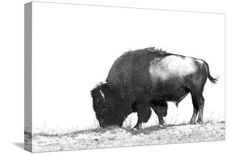Line Art/Pen and Ink Illustration Style Image of American Bison (Buffalo) Skylined on a Ridge Again-photographhunter-Stretched Canvas Print