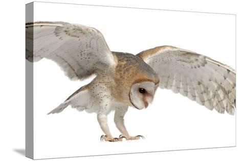 Barn Owl, Tyto Alba, 4 Months Old, Flying against White Background-Life on White-Stretched Canvas Print