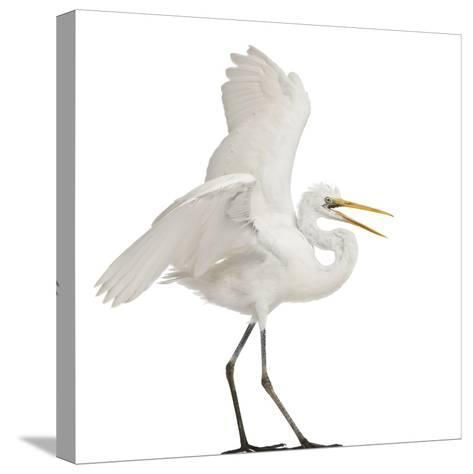 Great Egret or Great White Egret or Common Egret, Ardea Alba, Standing in Front of White Background-Life on White-Stretched Canvas Print