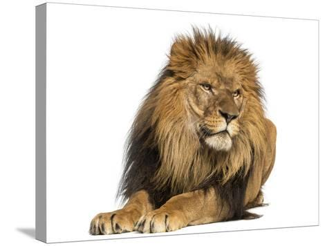 Lion Lying Down, Looking Away, Panthera Leo, 10 Years Old, Isolated on White-Life on White-Stretched Canvas Print