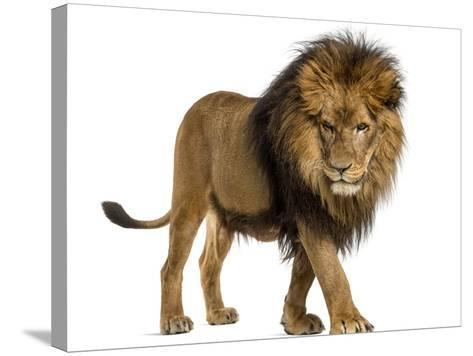Side View of a Lion Walking, Looking Down, Panthera Leo, 10 Years Old, Isolated on White-Life on White-Stretched Canvas Print