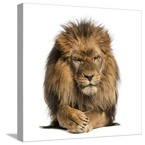 Front View of a Lion Lying, Crossing Paws, Panthera Leo, 10 Years Old, Isolated on White-Life on White-Stretched Canvas Print