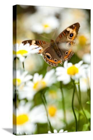 Buckeye in Daisies-EvanTravels-Stretched Canvas Print