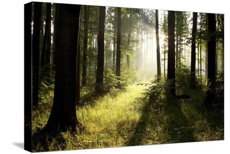 Spring Deciduous Forest at Dawn-nature78-Stretched Canvas Print