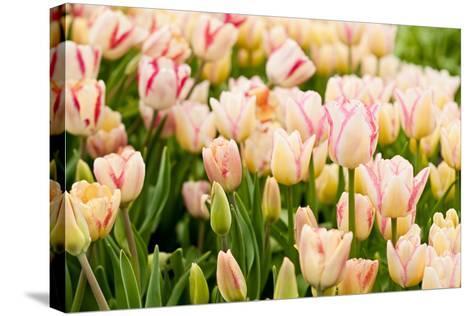 Beautiful Tulips-Nataliya Dvukhimenna-Stretched Canvas Print