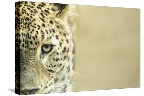 Leopard Sad Eyes Captivity close Up-stefano pellicciari-Stretched Canvas Print