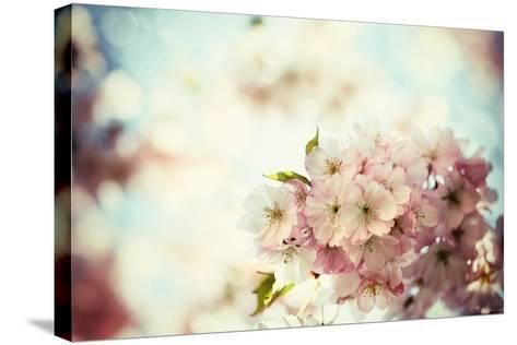 Vintage Photo of White Cherry Tree Flowers in Spring-Petr Jilek-Stretched Canvas Print